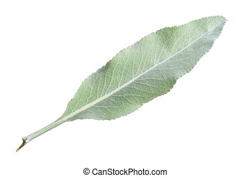 White sage leaf