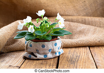 white Saintpaulias flowers in sackcloth packaging, wooden background