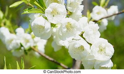 white sakura cherry blossoms macro - Branch of white sakura...