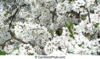 white Sakura flowers close - up in the wind