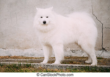 White Samoyed Bjelkier Dog Standing Outdoor on stone wall...