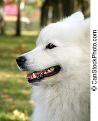 White samoyed