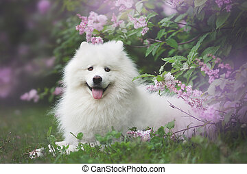 White samoyed outdoors