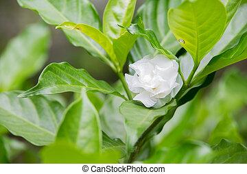 White Sampaguita Jasmine or Arabian Jasmine (Jasminum sambac (L.