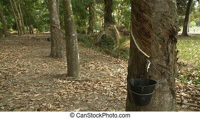 White Sap Dripping Into Bucket - Handheld, tilting down,...