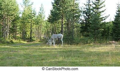 Reindeer - White Scandinavian Reindeer