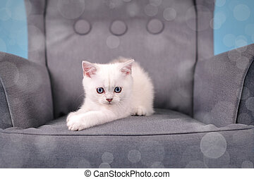 White Scottish breed kitten posing in a gray chair on a blue background and looking at the camera, studio photo with bokeh