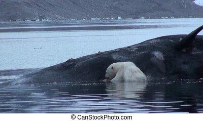 White sea bear eats dead whale in water of Svalbard....