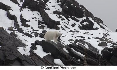 White sea bear on snow in a desolate icy tundra of...