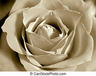 White sepia rose - Rose core zoom in - monochrome white...