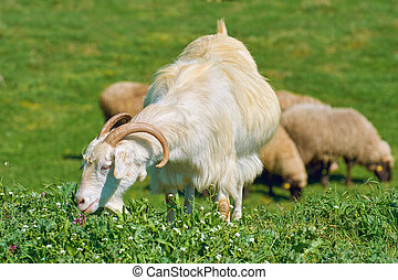 White She-Goat on the Pasture, in front of Sheeps