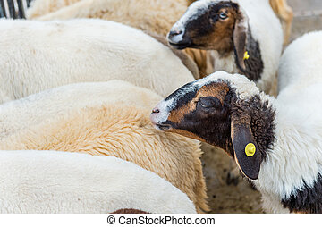 White Sheep and black sheep.