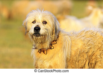 sheep dog - white sheep dog looking at the camera, image ...