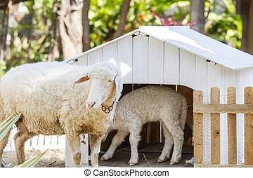 White Sheep in farm