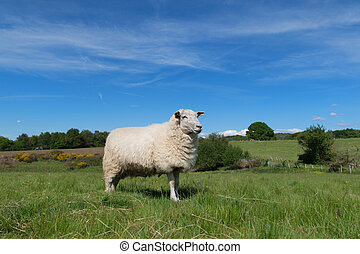 White sheep in landscape