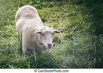 White sheep looking at the camera