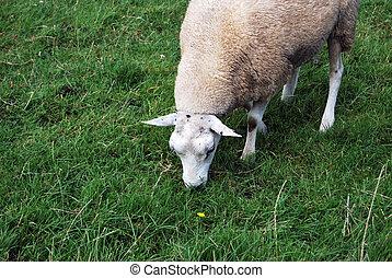 White sheep portrait in a green field