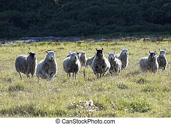 White sheep running on a meadow in the morning light