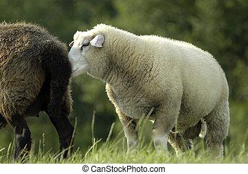White sheep snuffling at black sheep backside - A white...