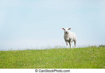 Sheep standing on a seawall looking curiously into the camera, in the north of germany, Schaf auf einem Deich sucht neugierig in die Kamera, im Norden von Deutschland