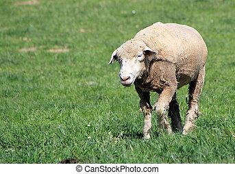 White sheep walking