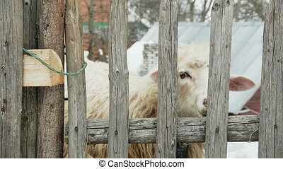 White sheep with a pink nose is behind the fence and chews. Carpathians, Ukraine.