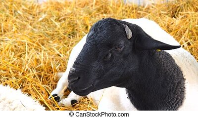 white sheep with black head on the background of hay