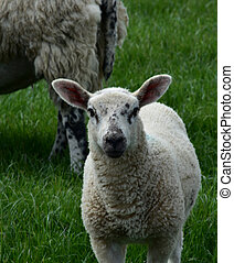 White Sheep with Black Speckles on His Face in a Field