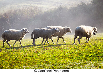 White sheeps on a green meadow.