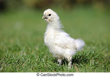White silk chicken walking in a green garden in summer