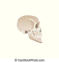 White skull profile - side view of bones in human head,...