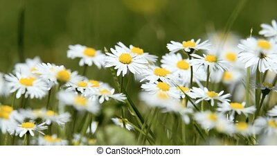 white small daisy flowers in spring - white small daisy...