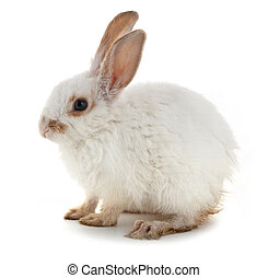 White small rabbit isolated over white background