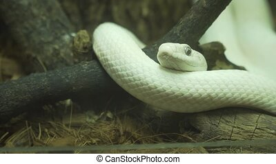 White snake lies on a branch - Texas rat snake on a wooden...