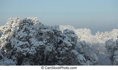 White snow lies on the branches of the tops of a pine tree...