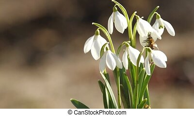 White snowdrop flowers and fly bee in springtime