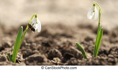 White snowdrop flowers and fly bee