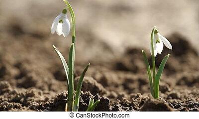 White snowdrop flowers and singing nightingale