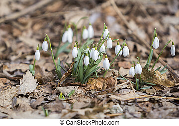 White snowdrops first spring flowers in the forest