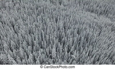 White Snowy Pine Forest - Aerial footage of a white frosty...