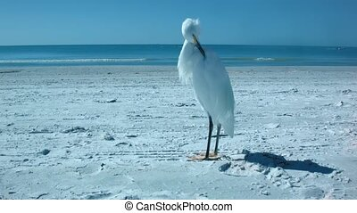 White solitary heron standing and posing on the white sand...