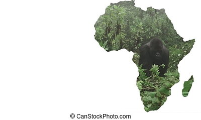 Africa continent shape with silver back gorilla approaching...
