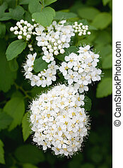 white Spirea in a garden