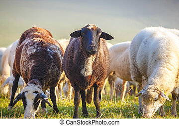 White, spotted and black sheep grazing on the meadow.