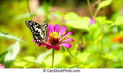 Butterfly (Chilasa Clytia)