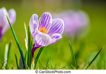 White spring Crocus on a meadow
