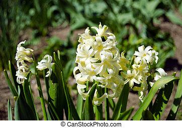 white spring flowers hyacinths in garden