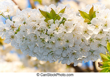 White, spring flowers of a cherry tree