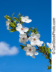 white spring flowers - white cherry flowers on branch, on...