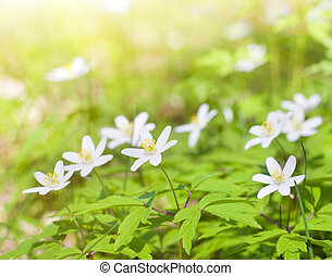 White spring flowers in pine wood
